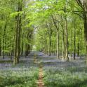 IronMate Photo - Blue Bell Wood Peaceful And Tranquil Fav Run