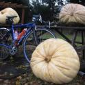 IronMate Photo - 3 Of The Largest Pumpkins Ever Seen Steple Claydon