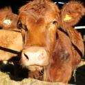IronMate Photo - Inquisitve And Curious Cow