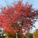 IronMate Photo - Leaves Turn Birght Red In Autumn 2011