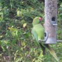 IronMate Photo - Parrakeet Seen On Bird Feeder In Kent In December
