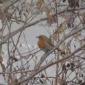 IronMate Photo - Robin Red Breast Hiding In A Tree