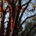 IronMate Photo - Sun Light Shines Through Peeling Bark Of Tree