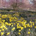IronMate Photo - Thousands Of Daffoils In The Hampshire Countryside